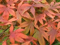 Arce japonés en el detalle del otoño - fondo Fotos de archivo