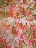 Arce japonés Osakazuki Fotografía de archivo
