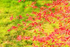 Arce japonés rojo imágenes de archivo libres de regalías