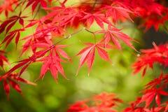 Arce japonés rojo Foto de archivo libre de regalías