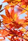 Arce japonés rojo Imagen de archivo libre de regalías