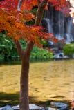 Arce japonés y cascada Imagen de archivo libre de regalías