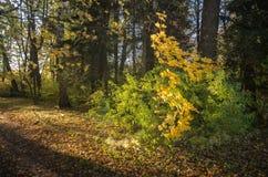 Arce joven en un arbusto en la madera del otoño fotografía de archivo libre de regalías