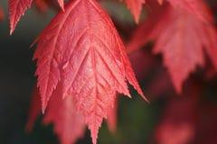 Arce rojo Foto de archivo libre de regalías