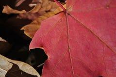 Arce rojo Fotografía de archivo libre de regalías