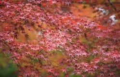 Arce rojo con el fondo de Japón Foto de archivo