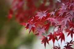 Arce rojo con el fondo de Japón Fotos de archivo