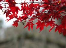 Arce rojo con el fondo de Japón Fotos de archivo libres de regalías