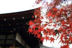 Arce rojo con el fondo del templo de Japón Imagenes de archivo