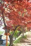 Arce rojo con el polo antiguo en Japón Foto de archivo