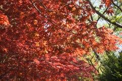 Arce rojo con la imagen completa del árbol Imagen de archivo