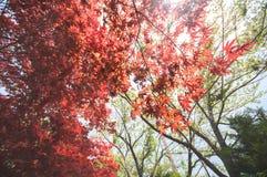Arce rojo con la imagen completa del árbol Fotos de archivo
