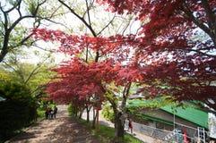 Arce rojo con la imagen completa del árbol Imagen de archivo libre de regalías