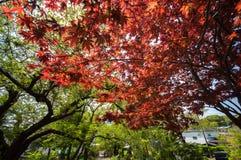 Arce rojo con la imagen completa del árbol Imágenes de archivo libres de regalías