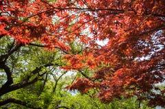 Arce rojo con la imagen completa del árbol Foto de archivo