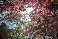 Arce rojo con la imagen completa del árbol Fotos de archivo libres de regalías