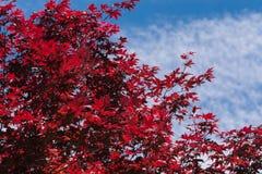 Arce rojo contra el cielo Imagen de archivo libre de regalías