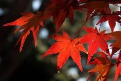 Arce rojo en JAPÓN Foto de archivo libre de regalías