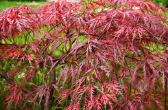 Arce rojo en otoño Fotografía de archivo