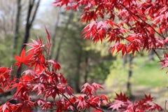 Arce rojo japonés imponente Imagen de archivo