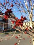 Arce rojo que florece en primavera Fotos de archivo