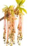 Arce tatarian floreciente foto de archivo
