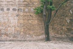 Arce verde contra la pared Fotografía de archivo libre de regalías
