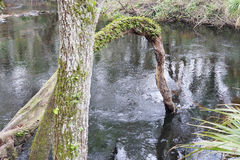 An arced tree on Hillsborough river. Hillsborough river, taken in Tampa, Florida. The Hillsborough River is a river located in the state of Florida in the USA Royalty Free Stock Images