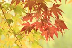 Arces del fondo de las hojas de otoño, verdes y rojos en árbol Fotos de archivo libres de regalías