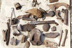 Archäologische Überreste von alten Tieren werden in den natürlichen Bedingungen auf der Oberfläche des Papiers getrocknet lizenzfreies stockfoto