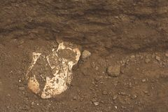 Archäologische Aushöhlungen des Entdeckungsschädelknochens des Skeletts in der menschlichen Beerdigung, Detail von alten Studien, stockbilder
