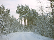 Arch. Winter landscape with an arch from the bent birch Stock Images