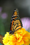 The Arch. Beautiful Monarch butterfly perched on a bright yellow flower Stock Photos