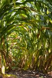 An arch of corn leaves royalty free stock photography