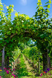 Arch covered with vines and grapes in vineyard. Grape vines cover an arch providing an attractive entrance to a vineyard Royalty Free Stock Images