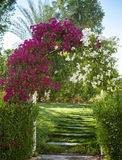 Arch of pink bougainvillea flowers Stock Image