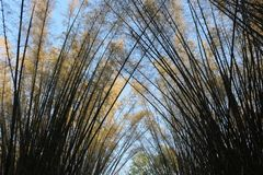 Arch view of golden bamboo trees in the park. In the evening Royalty Free Stock Photo
