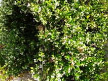 arch way of white flowering jasmine vine royalty free stock photography