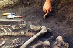 Archaeological excavations. archaeologist with tools conducts research on human burial, skeleton, skull.  royalty free stock image