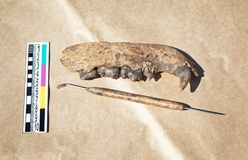 Archaeological find - the remains of the jaw of medieval bear royalty free stock images