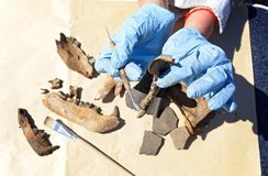 The archaeologist carefully cleans with a scraper a find - part of the bear`s jaw royalty free stock photo