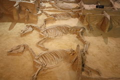 Archaeology. Ancient skeletons of horses with chariots in Archaeological museum of Luoyang city in China royalty free stock image