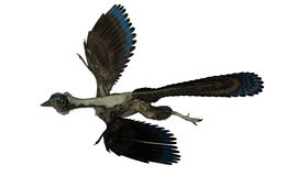 Archaeopteryx bird dinosaur flying - 3D render Royalty Free Stock Photo