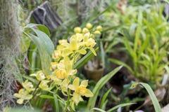 Archdeia di fioritura giallo nel giardino Fiore delicato di una fine gialla di archide su Congratulazioni alle donne l'8 marzo Fotografia Stock