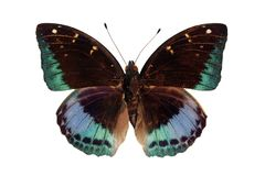 Archduke (butterfly). Archduke (butterfly on white) isolated Stock Images