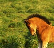 Playful delightful foal stretching having fun stock photos