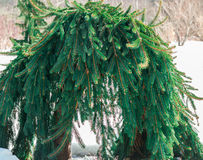 Arched weeping Norway spruce in winter Royalty Free Stock Photography