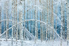 Arched white birches in snowy forest stock image