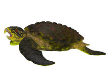 Archelon Turtle Side View Royalty Free Stock Image