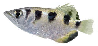 Archer Fish royalty free stock image